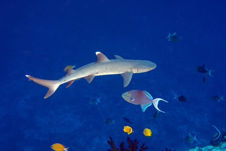 white tip reef shark jaws close up portrait while looking at you while diving in maldives