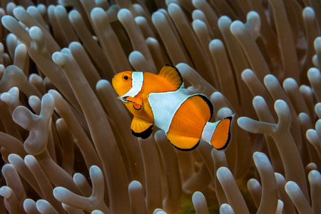 clown fish: Clown fish portrait while looking at you from anemone tentacles