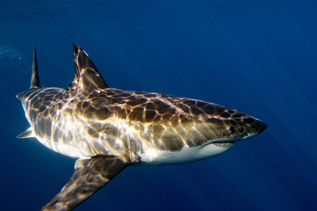 guadalupe island: Great White shark while coming to you on deep blue ocean background Stock Photo
