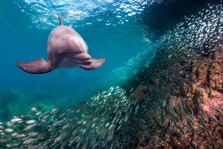 bait ball: dolphin underwater on blue ocean background looking at you from fish bait ball of sardines
