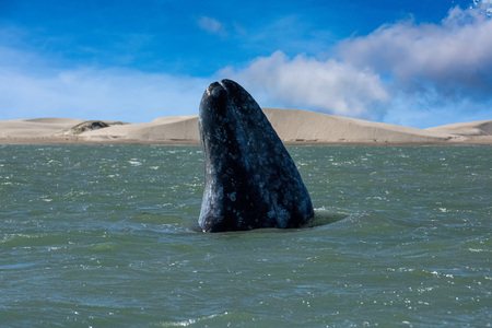 baleen whale: grey whale mother nose going up in the Pacific ocean
