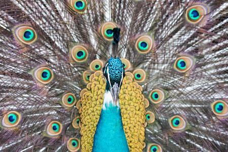 peacock wheel: peacock bird wonderful feather open wheel portrait