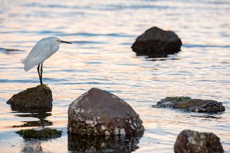 ardea: White egret heron portrait on the beach sand background