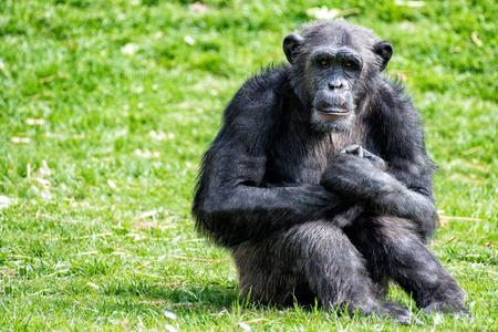chimpances: Chimpancé mono que le mira Foto de archivo