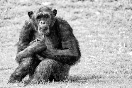 chimpances: Ape chimpanzee monkey looking at you in black and white