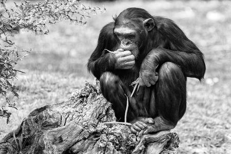 chimpances: Ape chimpanzee monkey looking at you in black and white