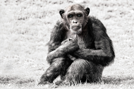 chimpances: blue eyes Ape chimpanzee monkey looking at you in black and white while looking at you