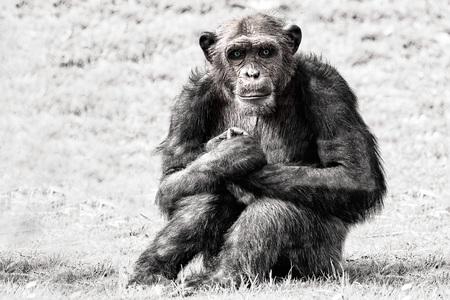 chimpances: ojos azules mono del mono del chimpancé que le mira en blanco y negro, mientras que le mira Foto de archivo