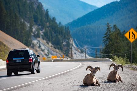 rocky mountain bighorn sheep: Big Horn Ovis canadensis portrait