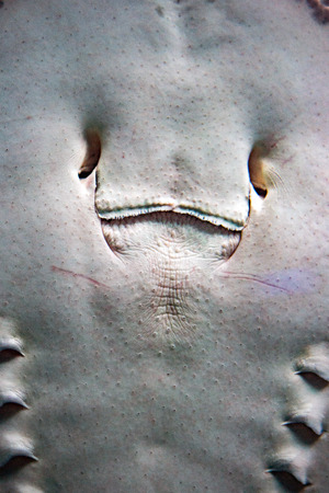 spotted: spotted ray detail of mouth
