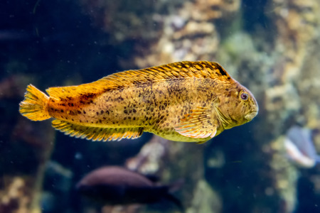 blenny: mediterranean colorful blenny fish underwater close up portrait Stock Photo