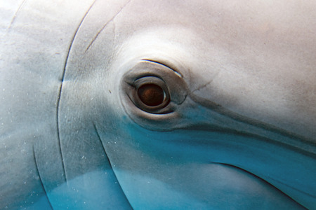 tursiop dolphin portrait detail of eye while looking at you from ocean