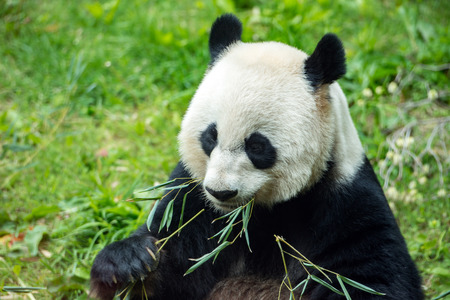 endanger: giant panda while eating bamboo close up portrait