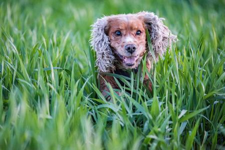 cocker: puppy dog cocker spaniel running to you