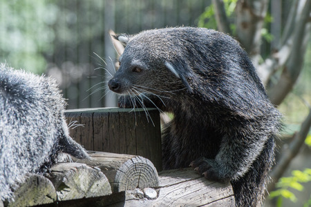 bearcat: Binturong close up portrait looking at you Stock Photo