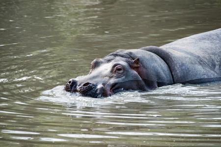 hippo Hyppopotamus close up portrait