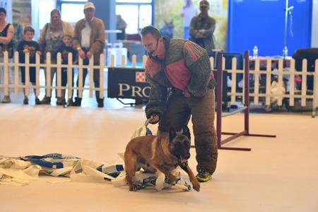 obediencia: G�nova, Italia - 21 MAY 2016 - Exposici�n Internacional Anual p�blica con m�s de mil perros diferentes de todo el mundo, el mejor del mundo del espect�culo, agilidad, obediencia, defensa, control, mando.