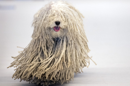 portrait of Rasta Poodle white dog coming to you Stock Photo