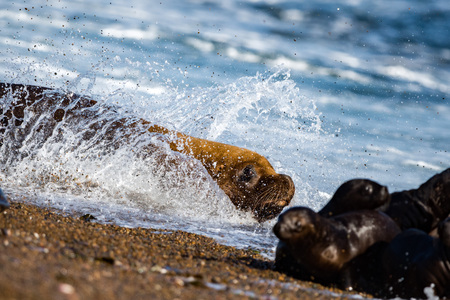 escaping: patagonia sea lion portrait seal on the beach while escaping from fight