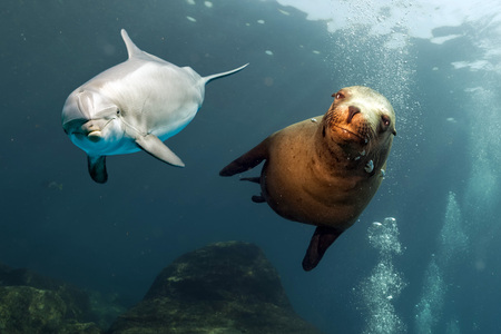 ocean background: dolphin and sea lion underwater on ocean background looking at you
