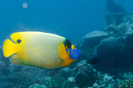 pomacanthus imperator: Adult Emperor angel fish on the red sea reef background