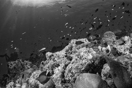 napoleon fish: Maldives corals house for Fishes underwater landscape in black and white Stock Photo