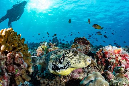 napoleon fish: A box fish in the reef background in maldives
