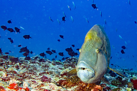 napoleon wrasse: napoleon fish in the blue reef background while coming to you Stock Photo