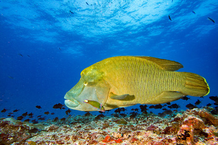 wrasse: napoleon fish in the blue reef background while coming to you Stock Photo
