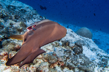 arothron: cleaner fish while diving in maldives cleaning bat fish gill