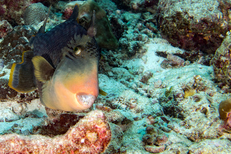 clown triggerfish: Trigger fish underwater close up portrait diving indonesia maldives