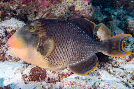 triggerfish: Trigger fish underwater close up portrait diving indonesia maldives