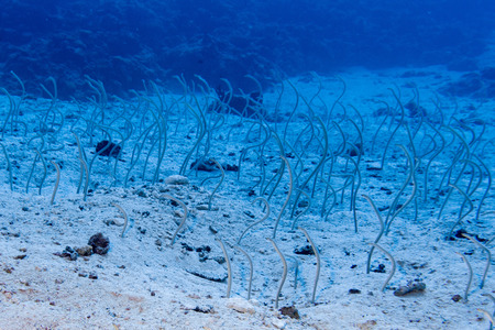longfin: Snake fish hiding in the sand in Maldives