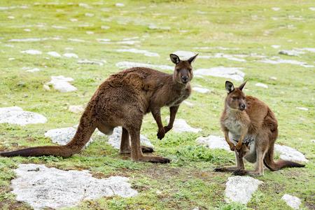 australia landscape: Kangaroos while looking at you at sunset in kangaroo island