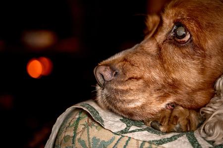nose close up: dog nose macro close up detail cocker spaniel