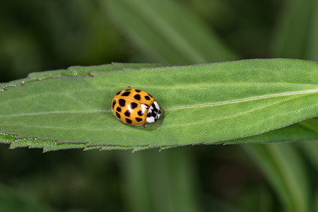lady bug: Orange lady bug macro on green background while looking at you
