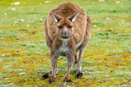 remarkable: Kangaroos while looking at you at sunset in kangaroo island