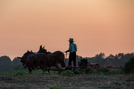 amish: amish while farming with horses at golden sunset