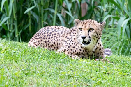Geïsoleerde Jaguar-het portret dichte omhooggaand van cheetaogen Stockfoto
