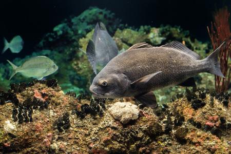 chins: Pogonias Cromis Black drum atlantic ocean fish underwater close up portrait