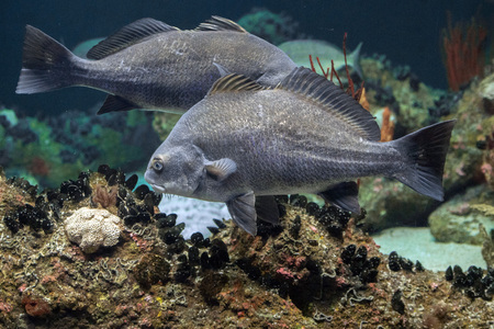 barbel: Pogonias Cromis Black drum atlantic ocean fish underwater close up portrait