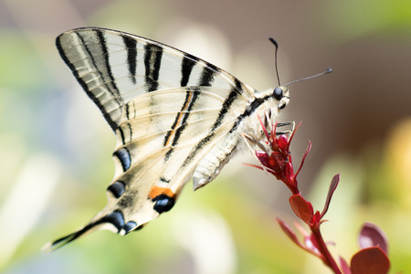 butterfly tail: swallow tail butterfly machaon close up portrait macro