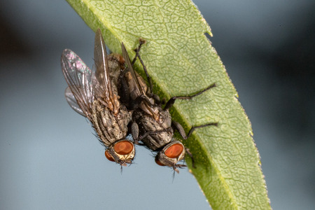 isolated fly while mating on the black background close up macro