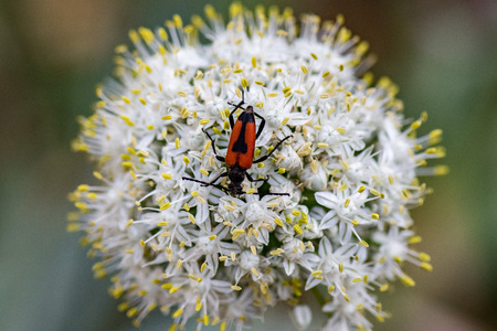 red and black beatle on yellow and whwite onion flower background Stock Photo