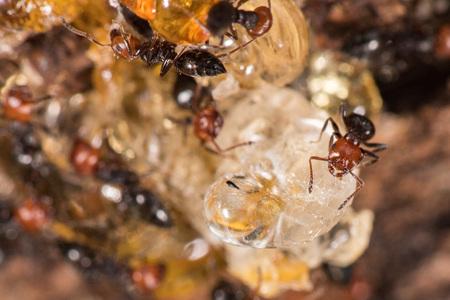 Red head black body fire ants honeypot Myrmecocystus detail macro inside anthill on a tree amber