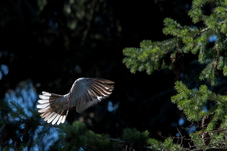 turtle dove: turtle dove bird while flying on the forest background