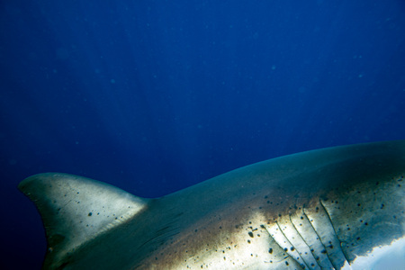 guadalupe island: Great White shark while coming to attack you on deep blue ocean background