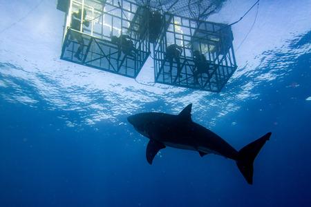 Grande squalo bianco mentre venendo ad attaccare voi su sfondo blu oceano Archivio Fotografico