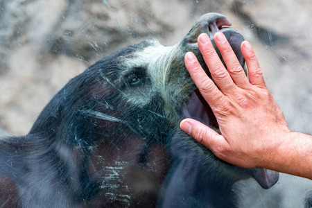 oso perezoso: human hand on glass with Sloth black asian bear portrait