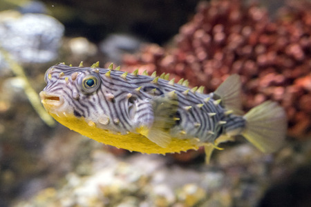 striped burrfish underwater close up macro detail looking at you